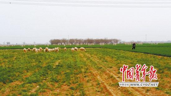 """四周地块的麦苗长了一尺来高,由于""""毁约弃耕"""",柏乡县内三村村民的70多亩耕地却荒草丛生,成了邻村羊倌牧羊的草场。本报记者?樊江涛/摄"""