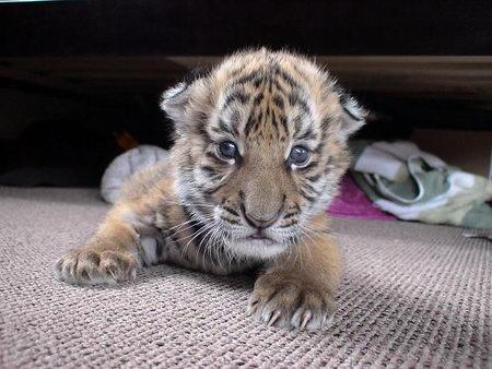 正文    1只雄性华南虎幼崽于2007年11月23日在南非自由省老虎谷顺利