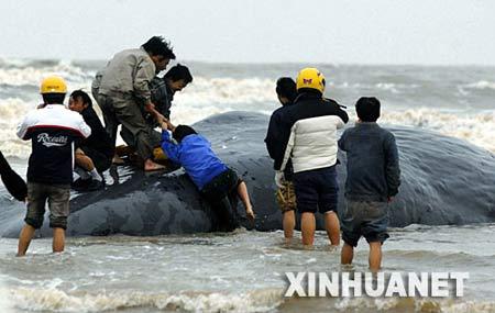20吨重抹香鲸在福建海滩搁浅后死亡(组图)