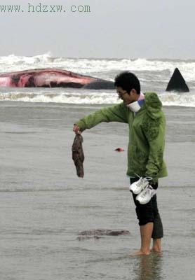 在福建搁浅抹香鲸将被制成标本(组图)