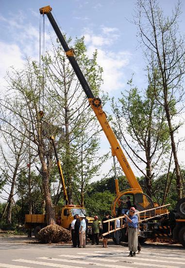 图文:四川绵阳市园林部门在紧急吊移大树