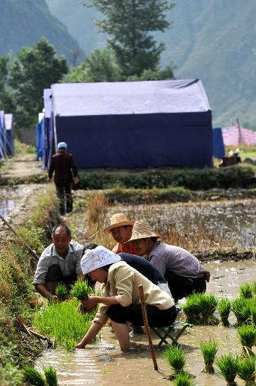 图文:甘肃文县灾民在田间采水稻秧苗准备插秧
