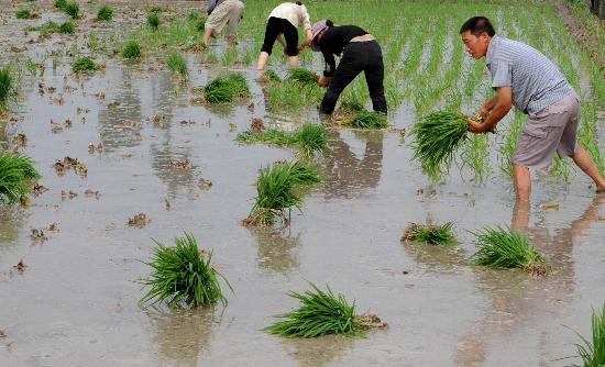 图文:什邡市师古镇受灾农民在忙着插秧