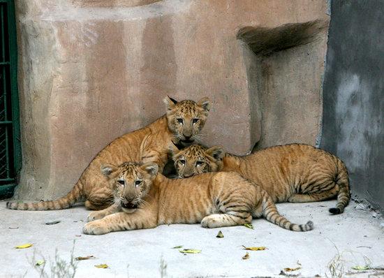 宋峤/cfp   提起狮子和老虎的结晶,红山动物园的饲养员心里总有点痛