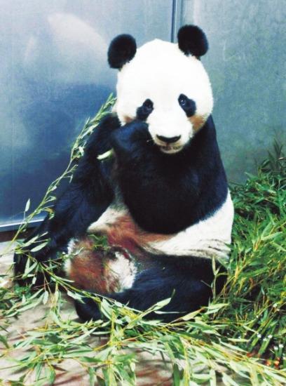 卧龙大熊猫疑因为遭麻醉后取精猝死日本(图)