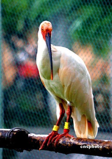 """资料图:被誉为""""东方宝石""""的世界最濒危珍稀动物"""