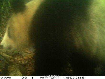 野生大熊猫活动的画面