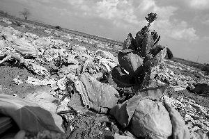 4月23日,济南唐王镇司家村,菜农韩成祥家地里大片开花的卷心菜,没收割就被犁掉了。
