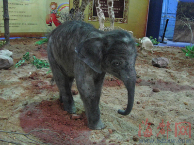始祖象长得像猪