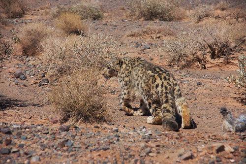 雪豹是一种美丽而濒危的猫科动物