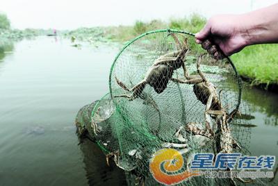 螃蟹笼螃蟹简笔画 螃蟹大人的兔子 图片