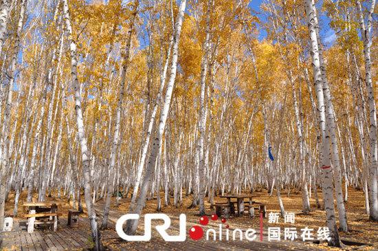 额尔古纳白桦林 邹浩宇摄   国际在线报道(记者 邹浩宇、夏航、单立娟、李俊翔、阿拉腾花):白桦林景区是距内蒙古自治区额尔古纳市区最近的一片原始次生林,总面积近7万公顷,成带状分布,其间无任何其它树种,是罕见的自然奇观。白桦树享有纯情树的美誉,枝叶扶疏,姿态优美,犹如少女窈窕的身躯亭亭玉立。属桦木科乔木植物,最高可达27米,树皮灰白色,对土壤适应性强,是大兴安岭生态保护系统重要组成部分。白桦树干材质细密,可制作木器,树皮是制作各类器具和精美手工艺品的上等材料。