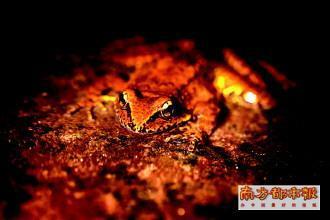 棘臂蛙 科考队供图