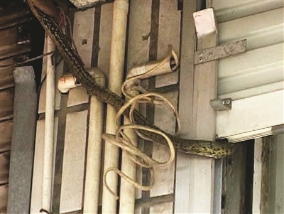 中国大蛇事件_辽宁新宾百年大蛇事件为炒作内附始末社会