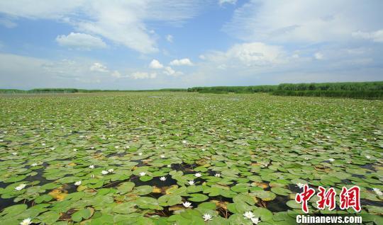 """博斯腾湖是我国面积最大的野生睡莲的生长区,阿洪口景区更是有着""""莲海"""