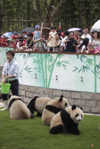 世博大熊猫留守上海将到年底(图)