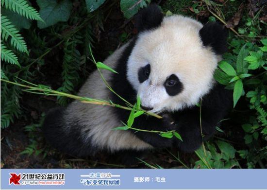 2011年8月2日,由《21世纪经济报道》主办的志蓝行动气候变化观察团成员在唐家河国家自然保护区工作人员马文虎的带领下,深入阴平古道,探寻野生大熊猫的足迹。   马文虎自工作以来19年一直从事野外动植物保护工作,具有丰富的经验,对唐家河保护区内野生动物的分布、习性了如指掌。经他的指点,我们认识了作为大熊猫主要食物来源其中的三种箭竹:糙花箭竹、缺苞箭竹、青川箭竹。   在途中,谈及气候变化对大熊猫栖息地的影响,马文虎说道,近2年来,唐家河保护区内的降雨量明显增多,导致很多树木的结果数量减少因为经常