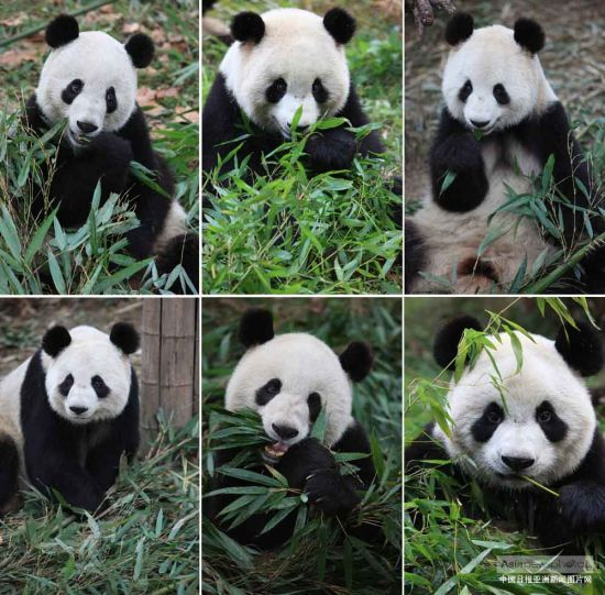 """6只首批入驻""""熊猫谷""""的大熊猫分别是功仔(左 上)、琪琪(中上)、星蓉(右上)、星雅(左下 )、迎迎(中下)、芝芝、(右下)。(图片来源 :中国日报亚洲新闻图片网 佘轶 摄)"""