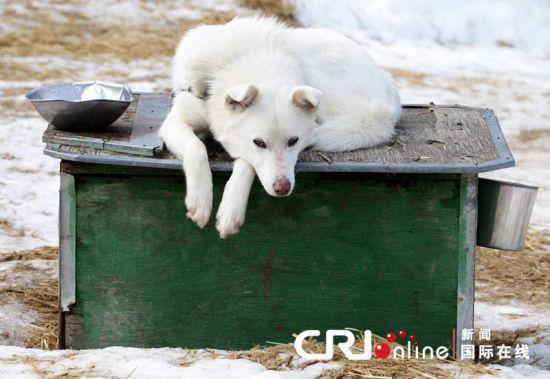 由于加拿大冬奥会后,惠斯勒旅游业下滑,这一公司只好杀死100只雪橇犬。