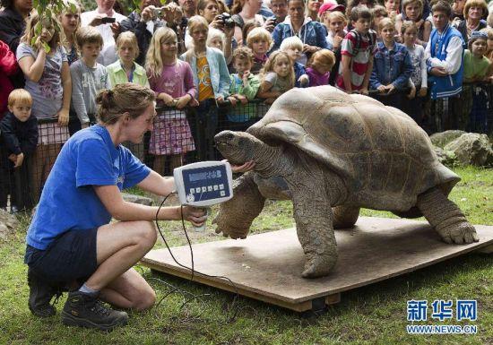 象龟是陆生龟类中最大的一种,以腿粗像象脚而得名。