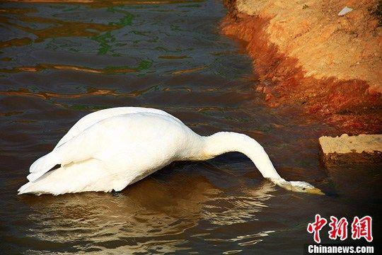 图为天鹅受不了太阳的炙烤,把头埋进了水里。杨华峰 摄