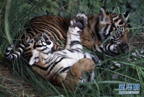 苏门答腊虎目前数量只有400只左右。