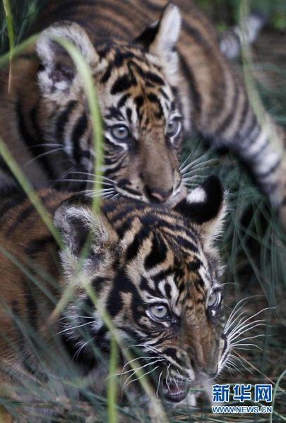 两只3个月大苏门答腊虎幼崽嬉闹。