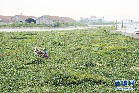被水葫芦覆盖的浙东古运河 新华社发(李瑞昌 摄)