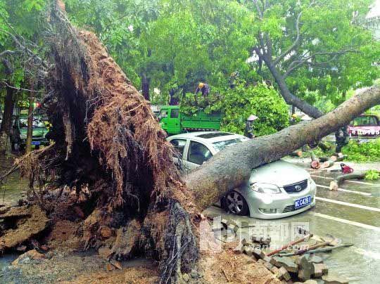沿河路上一棵大树倒下之后压在了一辆私家车上.南都记者黄义 摄