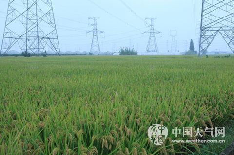 浙江宁波阴雨寡照致晚稻收割推迟 影响小麦播