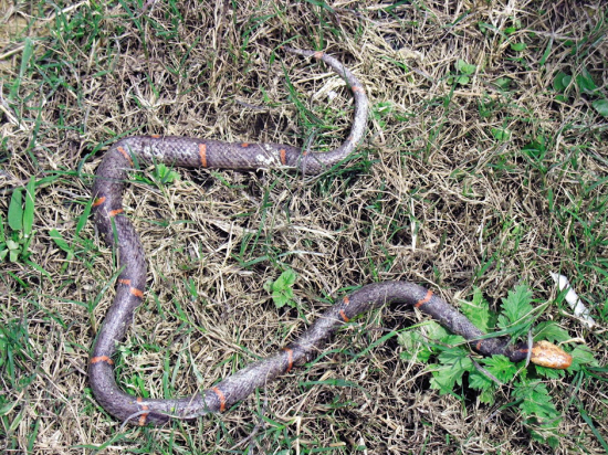 广州发现世界罕见毒蛇白头蝰 以能 绝食 闻名