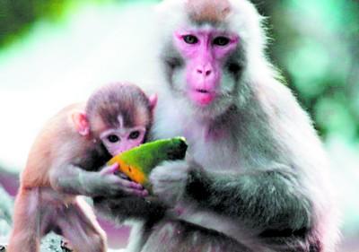 """""""来,儿子,吃块西瓜消消暑.""""西瓜是猴儿们消暑的最佳食物."""