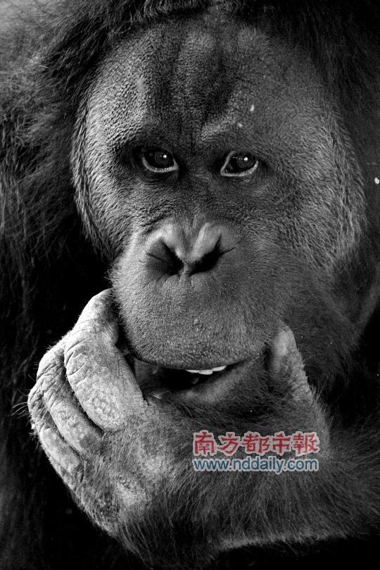 """2月12日在南京红山森林动物园拍摄的红猩猩""""乐申"""""""
