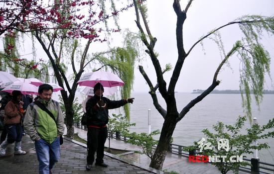 (桃花盛开的柳叶湖,诗意弥漫.)