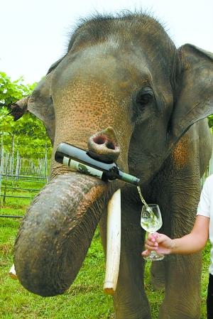 大象鼻子倒酒