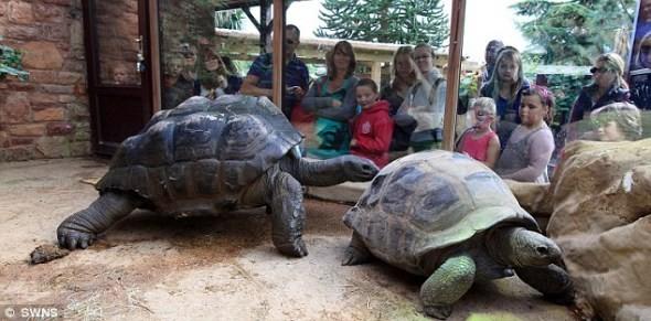 环球网记者李宗泽9月6日报道,据国外媒体消息,英国布里斯托尔动物园一只35年春心未动的巨大雄龟现在面临激烈的竞争。上个月,管理人员在它的馆内引入一个重 27英石(171公斤)的情敌。   亚达伯拉象龟洛维洛恩?比吉体重27.6英石(175公斤),30年来不曾对引入馆内的任何雌龟感兴趣。但是,布里斯托尔动物园的管理人员希望能通过健康的爱情竞争激起它的斗志,于是他们引入重171公斤的年轻雄龟贺加斯,笨重的龟壳让后者看起来有1米高。比吉约70岁,它的馆内还引入两只新雌龟希斯和斯特维,两者均25岁左右,动物园