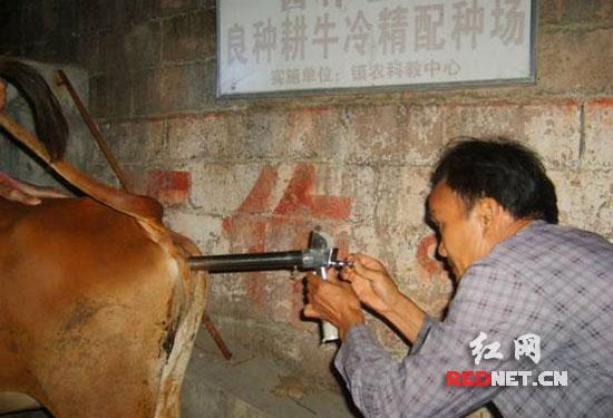 和印度摩拉水牛等洋牛爸爸身上取精进行冷