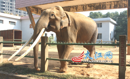 南昌动物园大象将乔迁新居