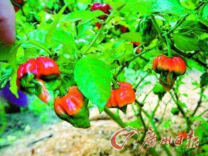 辣椒怎样种植怎么在家种辣椒