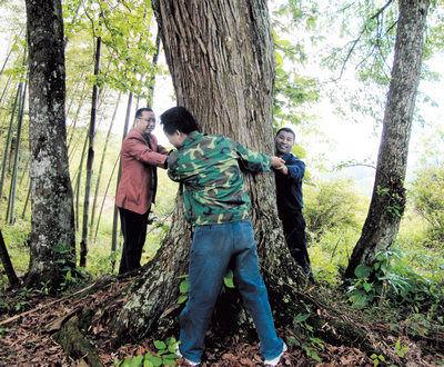 工作人员在测量古树的相关数据.张兴林