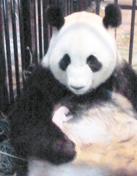 直到听到小熊猫的叫声才知道熊猫宝宝已经出生.