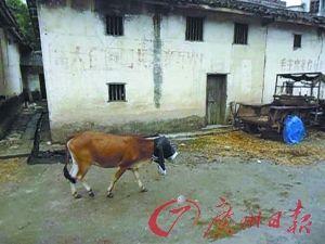 都说小黄牛是自己的就让它靠味道找家吧