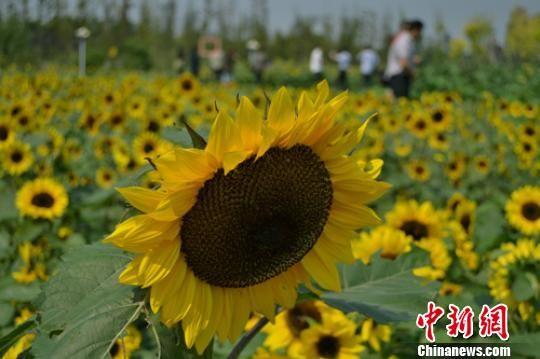 江苏泰州秋雪湖10万株多彩向日葵对外开放