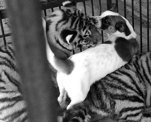 小狗和小老虎在嬉闹