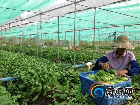 海南新增2.85万亩蔬菜基地 建21家平价菜店惠