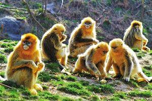 金丝猴子是什么颜色_目前,该园正加紧为小猴子们筹建自然生态的新家园——金丝猴岛.