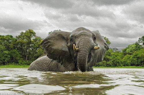 为拍大象肖像照 摄影师与象群共度数周套近乎(图)