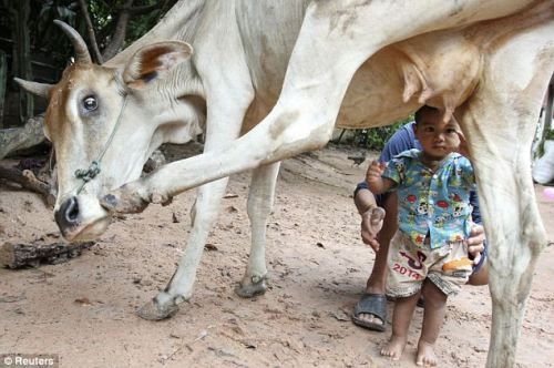 Cambodian children to drink milk greedy cow nipple sip to drink milk every day (Photo)