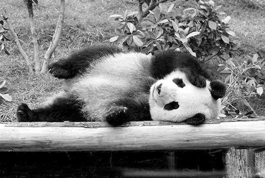 楚天金报讯 图为:可爱的心心   据中新社电 内地赠给澳门的大熊猫心心,日前因为肾衰竭并发出血性肠炎,经抢救无效死亡。澳门民政总署表示哀痛,并将联手成都专家小组调查心心的死因。   下月才满6岁的雌性大熊猫心心,于上月底进行例行检查时,发现肾脏功能异常,当时心心并无任何临床症状,但训练时却表现出不合作。治疗后,情况仍未有改善,两周前它进入发情期,变得烦躁不安,采食量和喝水量持续下降,进一步导致肾功能急剧恶化,出现休克及尿毒症等症状,最终不治死亡。   心心与另一只大熊猫开开,是