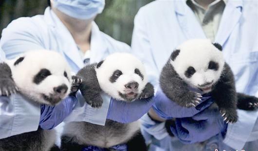 楚天金报讯 9月18日,广州长隆野生动物世界成功繁育的大熊猫三胞胎全部顺利开眼,并脱离人工育幼箱。据悉,开眼是大熊猫宝宝成长过程中非常重要的环节,宝宝们将由此得见光明,对外界变得更加敏感;开眼后借助眼睛的引导和帮助,熊猫宝宝将会变得更加积极好动,活动范围也将加大,加速学会走路。这是全球唯一存活的大熊猫三胞胎。(中新社发)   (原标题:图文:大熊猫三胞胎开眼)